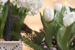 Julens hvite løk – med svibel og tulipan i potter