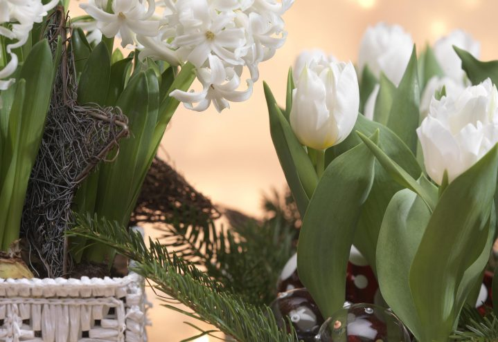 Julens hvite løk - med svibel og tulipan i potter