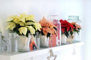 Fargevariasjoner i julestjerne