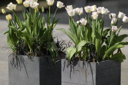 Tulipaner passer også godt i krukker
