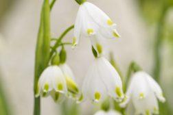 Vitale løkblomster gleder innendørs – fyll huset med fornemmelse av vår!