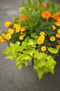 Sommerkrukke i gult: Ipomea, tagetes og ringblomst