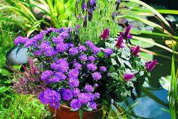 Høstens krukke? Med lyng, asters, celosia og lavendel