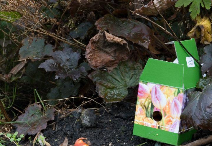 Tulipanløk må sette i blomsterbedet på høsten