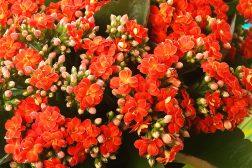 Intense oransje blomster av ildtopp