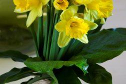 Påskeliljer i vase