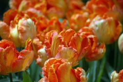 Oransje, rufsete tulipan