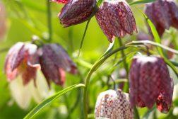 Rutelilje i blomsterbedet