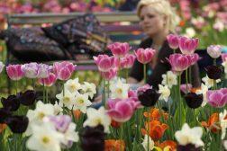 Tulipan og narcissbed