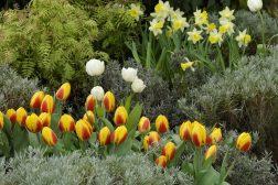 Plant blomsterløk mellom buskene  få det fint om våren!