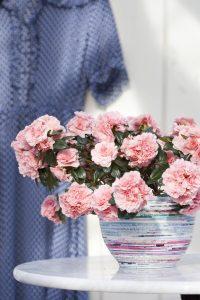Rosa asalea til advent