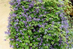 Alpeklematis, Clemais alpina