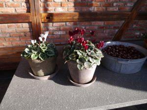 Alpefioler klarer kalde høstnetter