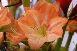 Oransje Amaryllis