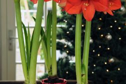 Amaryllis er juleblomsten