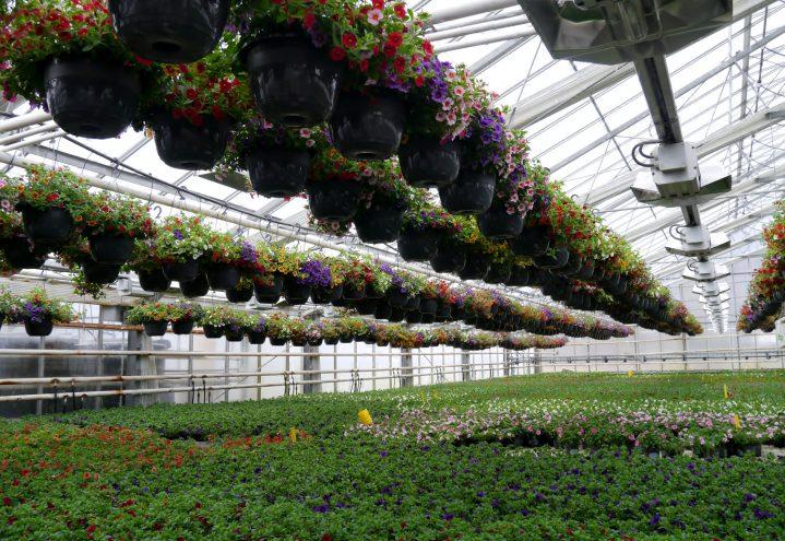 Produksjon av petunia i ampler og potter