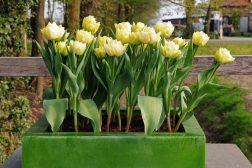 Tulipaner i krukke