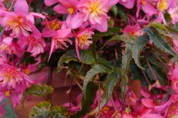 Begonia til krukkene