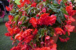 Frodig ettersommer – begonia er løsningen når sommeren er regnfull!