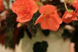 Begonia oransje