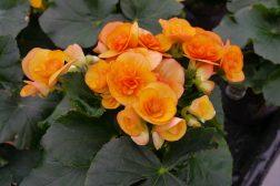 Begonia hiemalis oransje