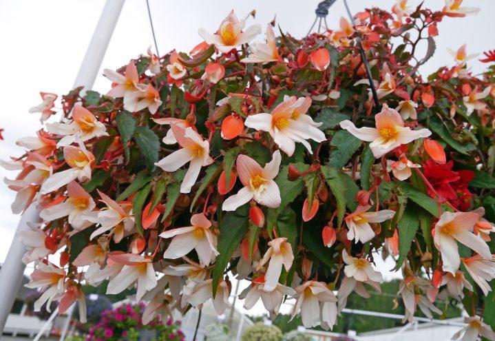 Begonia pendula lys tofarget