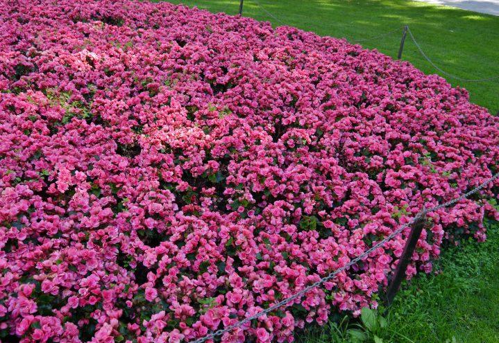 Store bed med begonia