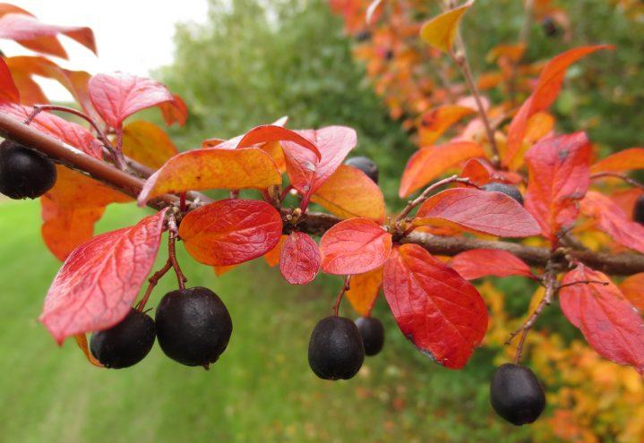 Blankmispel med bær og høstfarge
