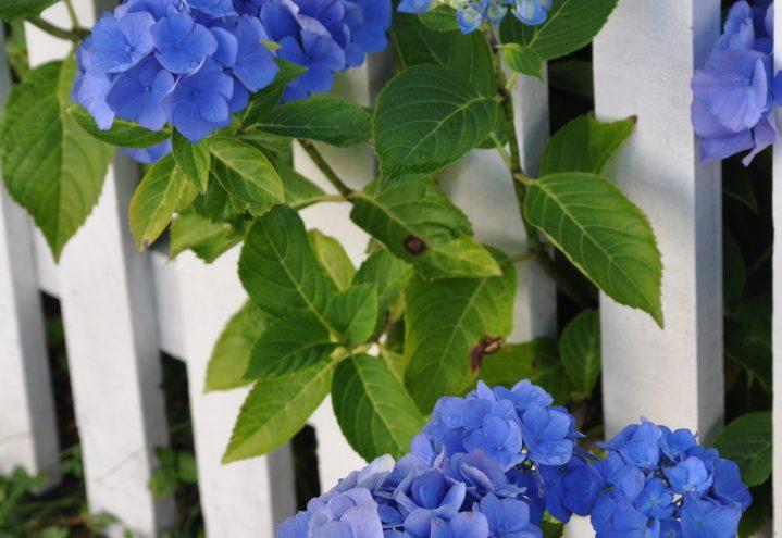 Blå Hortensia titter gjennom gjerdet