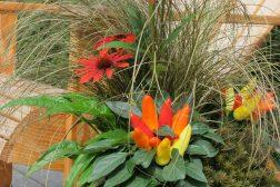 Capsicum, prydpaprika og Echinacea