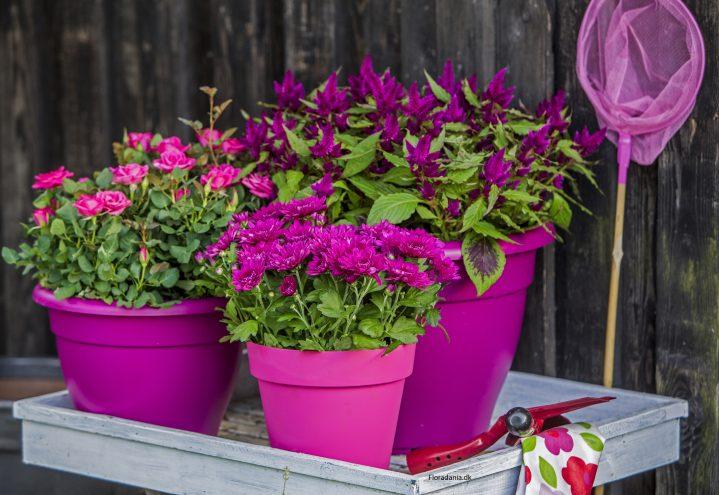 Celosia, rose og Krysantemum i flott lilla høstkombinasjon