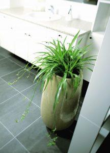Chlorophytum cocmsum, grønnrenne