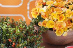 Begonia elatior, Nematanthus fakkelblomst) er en nydelig høstkombinasjon