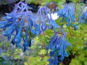 Emeilerkespore, Corydalis omeiana, bladverk