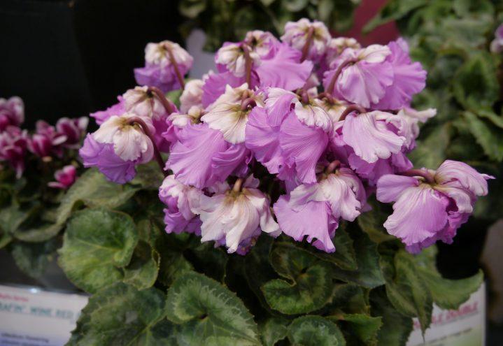 Alpefiol med doble, lilla blomster