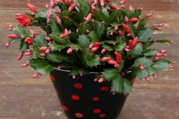 Julerød kaktus