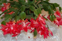 Blomstrende kaktuser er en av våre vakreste til jul