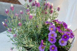 Lavendel og Petunia hybrid