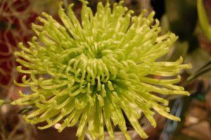 Strålekrysantemum i nydelig limegult