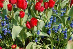 Forsommerkrukke med Perleblomst, Tusenfryd og tulipaner