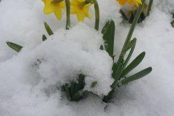 Påskeliljene tåler litt snø