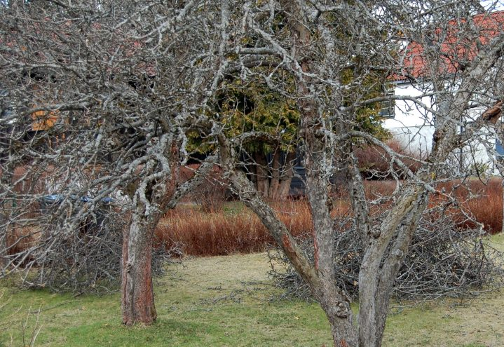 Gamle frukttrær