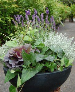 Krukke med Lavendel, pyntekål, eføy, santolina og helichrysum.