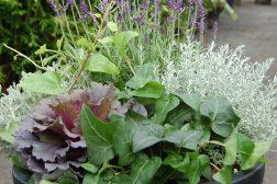 Lavendel, pyntekål, eføy, santolina og helichrysum.