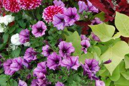 Sommerkrukke med georginer, petunia, praktspragle og ipomoea