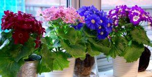 sineraria finnes i mange farger