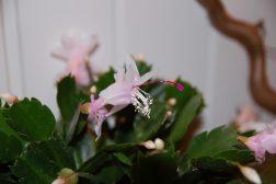 Blomst av julekaktus