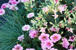 Sommerkrukke med tåre, petunia og margeritter