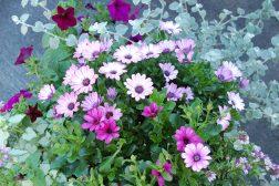 Sommerkrukke med spansk margeritt, petunia og Dichondra
