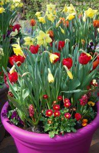 Vårkrukke med svibel, stemor, tusenfryd, påskeliljer, tulipaner